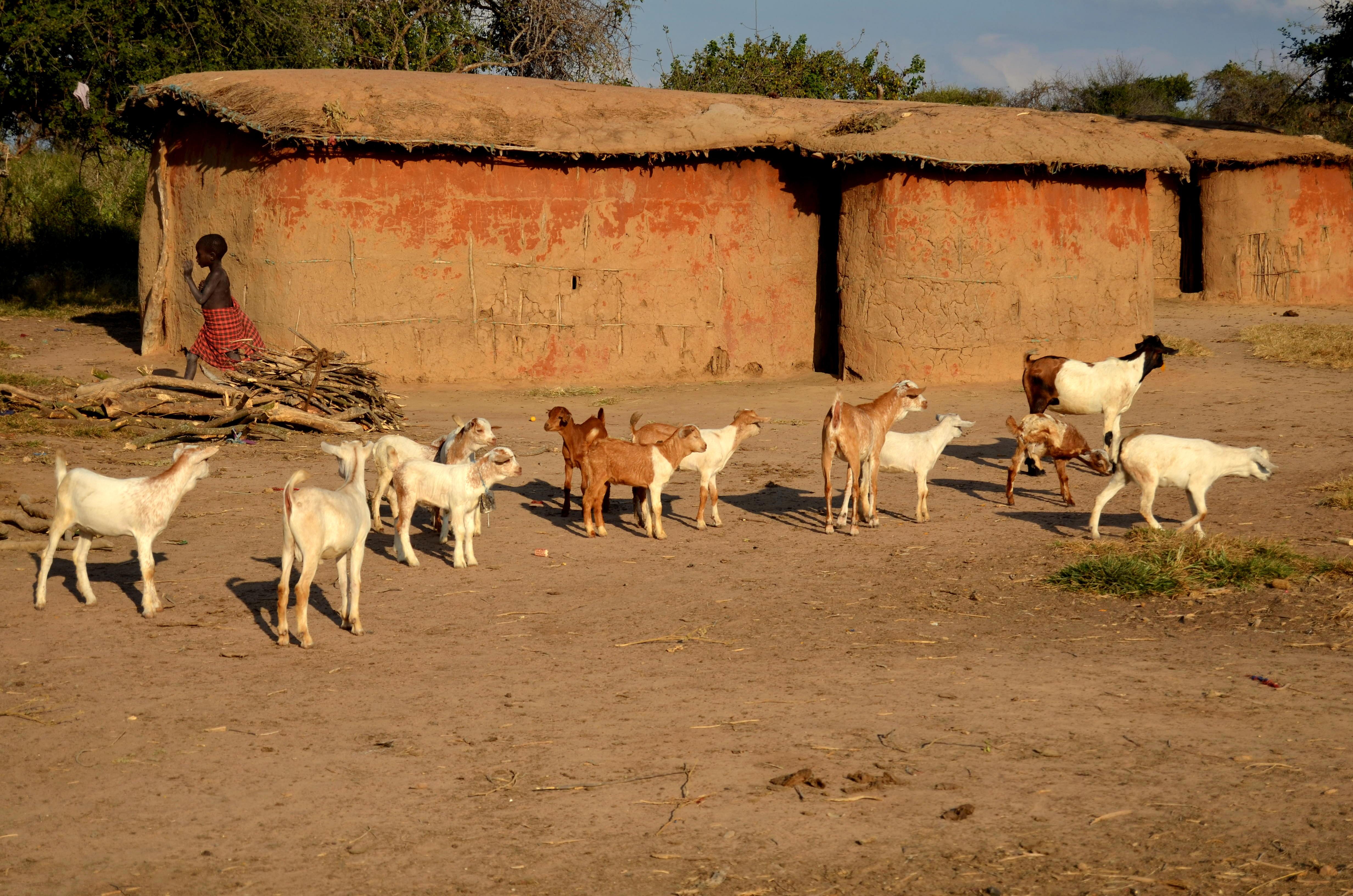 Obydlí, která Masajové sdílí i s dobytkem.